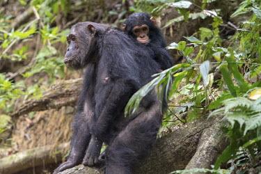 Female and young chimpanzee sitting on a fallen tree trunk - Tanzania Chimpanzee,Pan troglodytes,Hominids,Hominidae,Chordates,Chordata,Mammalia,Mammals,Primates,Chimpanc�,Chimpanz�,Endangered,Africa,Animalia,Tropical,Appendix I,Arboreal,Pan,Terrestrial,Omnivorous,troglo