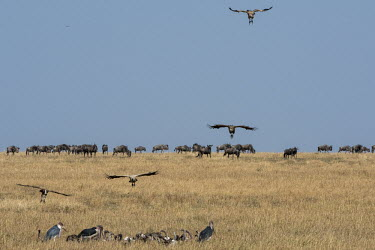 Wildebeest and vultures in the grasslands - Tanzania Wildebeest,Connochaetes taurinus,Mammalia,Mammals,Even-toed Ungulates,Artiodactyla,Bovidae,Bison, Cattle, Sheep, Goats, Antelopes,Chordates,Chordata,common wildebeest and brindled gnu,Animalia,Cetarti