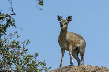 Klipspringer standing on a boulder, looking at camera - Tanzania Klipspringer,Oreotragus oreotragus,Even-toed Ungulates,Artiodactyla,Chordates,Chordata,Mammalia,Mammals,Bovidae,Bison, Cattle, Sheep, Goats, Antelopes,Herbivorous,Animalia,Scrub,Desert,oreotragus,Ceta