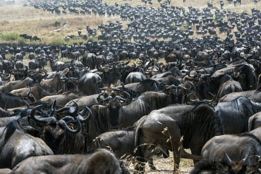 Group of wildebeest on their migration - Tanzania Wildebeest,Connochaetes taurinus,Mammalia,Mammals,Even-toed Ungulates,Artiodactyla,Bovidae,Bison, Cattle, Sheep, Goats, Antelopes,Chordates,Chordata,common wildebeest and brindled gnu,Animalia,Cetarti