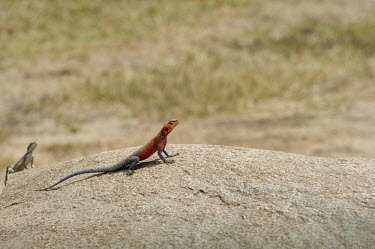 Mwanza Flat-headed Rock Agama resting on a boulder - Tanzania Mwanza Flat-headed Rock Agama,Agama mwanzae