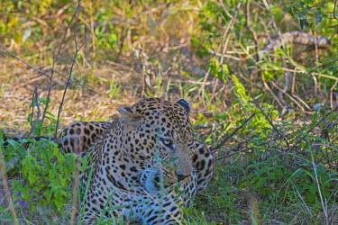 Leopard resting in the shrub - Tanzania Leopard,Panthera pardus,Chordates,Chordata,Felidae,Cats,Mammalia,Mammals,Carnivores,Carnivora,Pantera,L�opard,Panth�re,Leopardo,Temperate,Savannah,Asia,Appendix I,Carnivorous,Panthera,Near Threatened,
