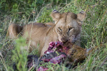 Lion eating prey in the grass - Tanzania Lion,Panthera leo,Felidae,Cats,Mammalia,Mammals,Carnivores,Carnivora,Chordates,Chordata,Lion d'Afrique,Le�n,leo,Animalia,Savannah,Africa,Scrub,Appendix II,Asia,Panthera,Vulnerable,Desert,Terrestrial,C