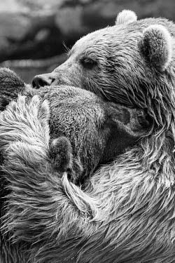 Brown bears play-fighting, captive - Georgia Brown bear,Ursus arctos,Carnivores,Carnivora,Bears,Ursidae,Chordates,Chordata,Mammalia,Mammals,Mexican grizzly bear,Grizzly bear,Ours brun,Oso Pardo,Africa,Semi-desert,Europe,Broadleaved,North America