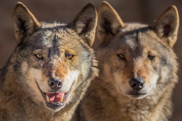 Portrait of pair of Eurasian wolves, captive - Georgia Eurasian wolf,Canis lupus,Dog, Coyote, Wolf, Fox,Canidae,Chordates,Chordata,Mammalia,Mammals,Carnivores,Carnivora,Timber Wolf,Common Wolf,Arctic Wolf,Gray Wolf,Wolf,Mexican Wolf,Tundra Wolf,Plains Wol