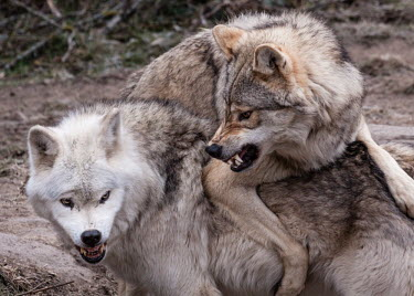 Eurasian wolves play-fighting, captive - France Eurasian wolf,Canis lupus,Dog, Coyote, Wolf, Fox,Canidae,Chordates,Chordata,Mammalia,Mammals,Carnivores,Carnivora,Timber Wolf,Common Wolf,Arctic Wolf,Gray Wolf,Wolf,Mexican Wolf,Tundra Wolf,Plains Wol