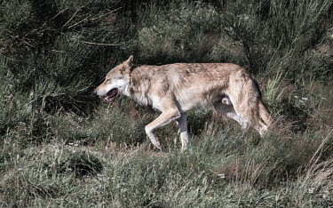 Eurasian wolf walking through grassland, captive - France Eurasian wolf,Canis lupus,Dog, Coyote, Wolf, Fox,Canidae,Chordates,Chordata,Mammalia,Mammals,Carnivores,Carnivora,Timber Wolf,Common Wolf,Arctic Wolf,Gray Wolf,Wolf,Mexican Wolf,Tundra Wolf,Plains Wol
