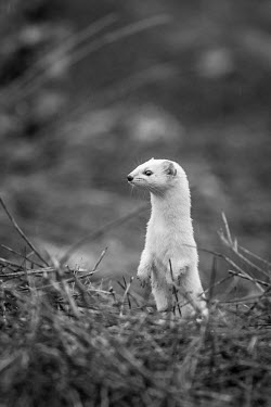 Least weasel poking its head up out of the woodland floor - Armenia Least weasel,Mustela nivalis,Carnivores,Carnivora,Chordates,Chordata,Weasels, Badgers and Otters,Mustelidae,Mammalia,Mammals,Belette D'Europe,Comadreja,Mustela,Urban,nivalis,Terrestrial,Heathland,Anim