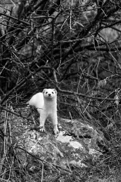Least weasel standing on rocks, looking at the camera - Armenia Least weasel,Mustela nivalis,Carnivores,Carnivora,Chordates,Chordata,Weasels, Badgers and Otters,Mustelidae,Mammalia,Mammals,Belette D'Europe,Comadreja,Mustela,Urban,nivalis,Terrestrial,Heathland,Anim
