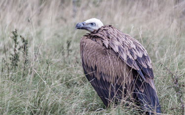 Griffon vulture portrait - France Griffon vulture,Gyps fulvus,Accipitridae,Hawks, Eagles, Kites, Harriers,Falconiformes,Hawks Eagles Falcons Kestrel,Chordates,Chordata,Aves,Birds,Ciconiiformes,Herons Ibises Storks and Vultures,Eurasia
