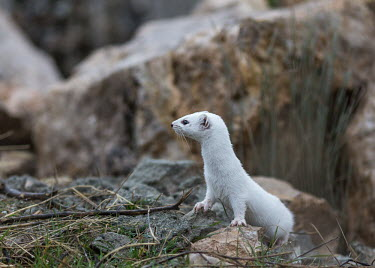 Least weasel standing on rocks, looking away from camera - Armenia Least weasel,Mustela nivalis,Carnivores,Carnivora,Chordates,Chordata,Weasels, Badgers and Otters,Mustelidae,Mammalia,Mammals,Belette D'Europe,Comadreja,Mustela,Urban,nivalis,Terrestrial,Heathland,Anim