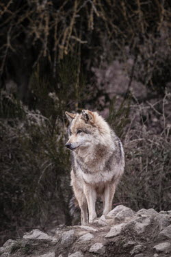 Eurasian wolf standing on a rock, captive - France Eurasian wolf,Canis lupus,Dog, Coyote, Wolf, Fox,Canidae,Chordates,Chordata,Mammalia,Mammals,Carnivores,Carnivora,Timber Wolf,Common Wolf,Arctic Wolf,Gray Wolf,Wolf,Mexican Wolf,Tundra Wolf,Plains Wol