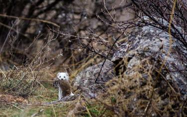 Least weasel carrying prey, looking at the camera Least weasel,Mustela nivalis,Carnivores,Carnivora,Chordates,Chordata,Weasels, Badgers and Otters,Mustelidae,Mammalia,Mammals,Belette D'Europe,Comadreja,Mustela,Urban,nivalis,Terrestrial,Heathland,Anim