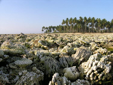 A dead coral reef uplifted by the 2004 earthquake - Simeulue, Indonesia Tsunami,earthquake,west sumatra,ocean impacts,natural hazards,uplifted reef,Coral reef,Coral,Exoskeleton,Exposed reef,Dead coral,Disaster,Hard coral and sponges