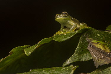 Portrait of a Cusco cochran frog, from below, sitting on a leaf - Peru Cusco cochran frog,Rulyrana spiculata