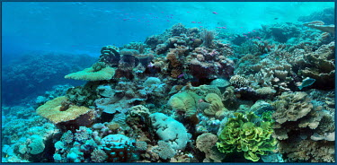 Panoramic mosaic of an ocean-facing reef - Marshall Islands Healthy reef,Coral reef,Reef,Coral,Underwater,Fragile,Ecosystem,Colourful,Hard and soft corals