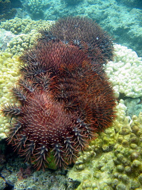 A cluster of crown-of-thorns seastars jostle for remnants of corals - French Polynesia Crown-of-thorns seastar,Acanthaster planci,Echinoderms,Echinodermata,Indian,Aquatic,Coral reef,Animalia,Asteroidea,Pacific,Carnivorous,Valvatida,Acanthasteridae,Acanthaster