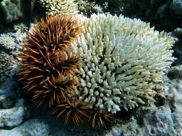 Coral eaten by crown-of-thorns seastar - French Polynesia Crown-of-thorns seastar,Acanthaster planci,Echinoderms,Echinodermata,Indian,Aquatic,Coral reef,Animalia,Asteroidea,Pacific,Carnivorous,Valvatida,Acanthasteridae,Acanthaster
