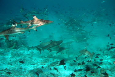Blacktip reef shark feeding - French Polynesia. Blacktip reef shark,Carcharhinus melanopterus,Chordates,Chordata,Carcharhiniformes,Ground Sharks,Cartilaginous Fishes,Chondrichthyes,Carcharhinidae,blacktip shark,reef blacktip shark,black fin reef sh