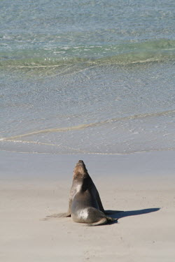 South Australian Fur Seal at the shorline, image from behind - Australia Arctocephalus,Animalia,Aquatic,Arctocephalus forsteri,Carnivora,Carnivores,Carnivorous,Chordata,Chordates,Coastal,Eared Seals,IUCN Red List,Least Concern,Mammalia,Mammals,New Zealand Fur Seal,North Am