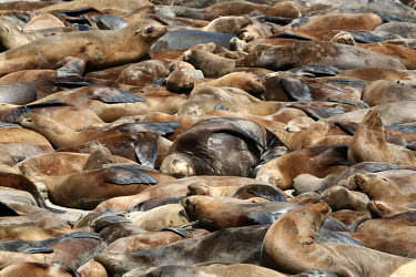 Sea lions bask on the beach - California Sea lion,Zalophus californianus,Chordates,Chordata,Mammalia,Mammals,Carnivores,Carnivora,Otariidae,Eared Seals,Zalophus californianus californianus,Ocean,North America,Coastal,Aquatic,Animalia,Terrest