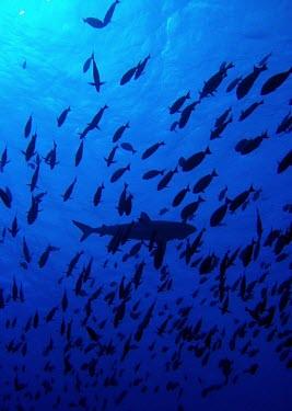 A grey reef shark swims above a school of surgeonfish - Tuamotu Islands Grey reef shark,Carcharhinus amblyrhynchos,Cartilaginous Fishes,Chondrichthyes,Chordates,Chordata,Carcharhiniformes,Ground Sharks,Carcharhinidae,Gray reef shark,Asia,North America,Indian,IUCN Red List