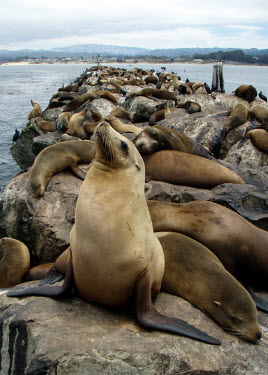 Sea lions haul out - California Sea lion,Zalophus californianus,Chordates,Chordata,Mammalia,Mammals,Carnivores,Carnivora,Otariidae,Eared Seals,Zalophus californianus californianus,Ocean,North America,Coastal,Aquatic,Animalia,Terrest