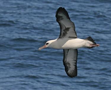 Laysan albatross soaring above the water - California Laysan albatross,Phoebastria immutabilis,Procellariiformes,Albatrosses, Petrels,Albatrosses,Diomedeidae,Ciconiiformes,Herons Ibises Storks and Vultures,Chordates,Chordata,Aves,Birds,Albatros de Laysan