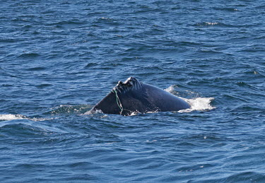 Humpback whale dorsal fin - Massachusetts Humpback whale,Megaptera novaeangliae,Rorquals,Balaenopteridae,Cetacea,Whales, Dolphins, and Porpoises,Chordates,Chordata,Mammalia,Mammals,bunch,hunchbacked whale,hump whale,Baleine � Taquet,Baleine �