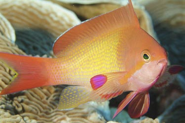 Close up of an anthias - Zanzibar Scalefin anthias,Pseudanthias squamipinnis