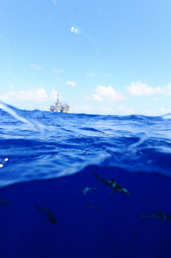 A group of silky sharks near an oil rig - Gulf of Mexico Silky shark,Carcharhinus falciformis,Carcharhinidae,Carcharhiniformes,Ground Sharks,Cartilaginous Fishes,Chondrichthyes,Chordates,Chordata,Carcharias falciformis,Animalia,Atlantic,Carcharhinus,Near Th