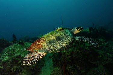 A satellite tagged hawksbill turtle swims in a marine protected area Hawksbill turtle,Eretmochelys imbricata,Turtles,Testudines,Sea Turtles,Cheloniidae,Chordates,Chordata,Reptilia,Reptiles,Caret,Tortue Caret,Tortue � bec faucon,Tortue � �cailles,Tortue imbriqu�e,Tortug