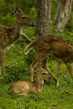 Chital deer fawn lies in the grass as females graze around it - India Indian elephant,Elephas maximus,Mammalia,Mammals,Elephants,Elephantidae,Chordates,Chordata,Elephants, Mammoths, Mastodons,Proboscidea,Elefante Asi�tico,El�phant D'Asie,El�phant D'Inde,Animalia,Scrub,E