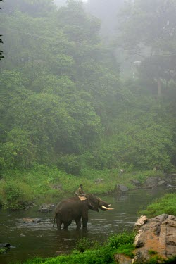 Male Indian elephant being walked across a river by his mahout in a rehabilitation camp - India Indian elephant,Elephas maximus,Mammalia,Mammals,Elephants,Elephantidae,Chordates,Chordata,Elephants, Mammoths, Mastodons,Proboscidea,Elefante Asi�tico,El�phant D'Asie,El�phant D'Inde,Animalia,Scrub,E