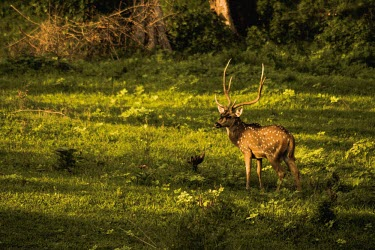 Stag chital deer in a forest clearing - India Chital,Axis axis,Chordates,Chordata,Mammalia,Mammals,Cervidae,Deer,Even-toed Ungulates,Artiodactyla,Axis deer,Indian spotted deer,Cerf Axis,Asia,South America,Forest,Animalia,Axis,Grassland,Temperate,