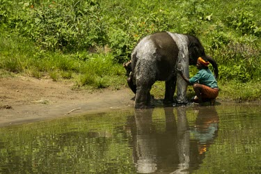 Young orphan Indian elephant gets washed by its mahouts in a river - India Indian elephant,Elephas maximus,Mammalia,Mammals,Elephants,Elephantidae,Chordates,Chordata,Elephants, Mammoths, Mastodons,Proboscidea,Elefante Asi�tico,El�phant D'Asie,El�phant D'Inde,Animalia,Scrub,E