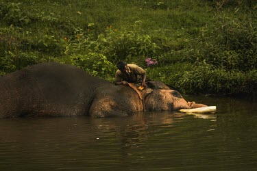 Male Indian elephant in a rehabilitation camp takes a bathe in the river with his mahout - India Indian elephant,Elephas maximus,Mammalia,Mammals,Elephants,Elephantidae,Chordates,Chordata,Elephants, Mammoths, Mastodons,Proboscidea,Elefante Asi�tico,El�phant D'Asie,El�phant D'Inde,Animalia,Scrub,E