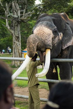Male Indian elephant being fed by his mahout in a rehabilitation camp - India Indian elephant,Elephas maximus,Mammalia,Mammals,Elephants,Elephantidae,Chordates,Chordata,Elephants, Mammoths, Mastodons,Proboscidea,Elefante Asi�tico,El�phant D'Asie,El�phant D'Inde,Animalia,Scrub,E