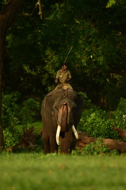 Male Indian elephant walks around the rehabilitation camp with its mahout - India Indian elephant,Elephas maximus,Mammalia,Mammals,Elephants,Elephantidae,Chordates,Chordata,Elephants, Mammoths, Mastodons,Proboscidea,Elefante Asi�tico,El�phant D'Asie,El�phant D'Inde,Animalia,Scrub,E