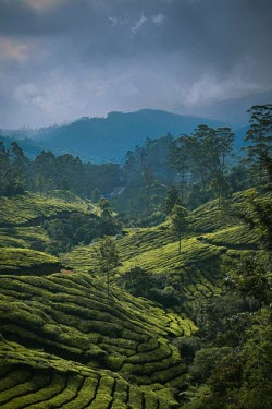 View of terraced plantation in Munnar - India