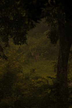 Stag chital deer in a forest - India Chital,Axis axis,Chordates,Chordata,Mammalia,Mammals,Cervidae,Deer,Even-toed Ungulates,Artiodactyla,Axis deer,Indian spotted deer,Cerf Axis,Asia,South America,Forest,Animalia,Axis,Grassland,Temperate,