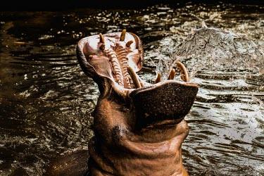 Hippo with mouth open facing sky - India Hippopotamus amphibius,Hippopotamidae,Hippopotamuses,Mammalia,Mammals,Even-toed Ungulates,Artiodactyla,Chordates,Chordata,Hippo,common hippopotamus,Hipop�tamo Anfibio,Hippopotame,Appendix II,Aquatic,P