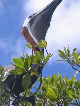 Brown pelican in red mangrove tree - St Thomas Brown pelican,Pelecanus occidentalis,Ciconiiformes,Herons Ibises Storks and Vultures,Aves,Birds,Chordates,Chordata,Pelecanidae,Pelicans,Pelicans and Cormorants,Pelecaniformes,Pelecanus,North America,T