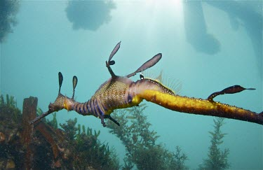 Weedy seadragon - Victoria, Australia Weedy seadragon,Phylloperyx taeniolatus,Syngnathidae,Actinopterygii,Ray-finned Fishes,Syngnathiformes,Chordates,Chordata,Common seadragon,Near Threatened,Animalia,taeniolatus,Australia,Particulate,Phy