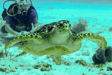 Hawksbill turtle swimming towards camera with diver in the background - Mexico Hawksbill turtle,Eretmochelys imbricata,Turtles,Testudines,Sea Turtles,Cheloniidae,Chordates,Chordata,Reptilia,Reptiles,Caret,Tortue Caret,Tortue � bec faucon,Tortue � �cailles,Tortue imbriqu�e,Tortug